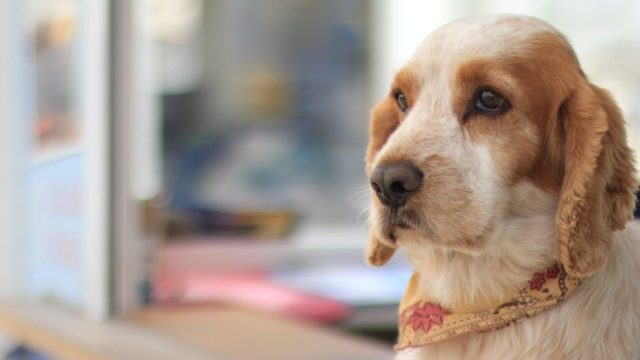 Los primeros dos meses de vida de un Perro Detector de Hipoglucemias.